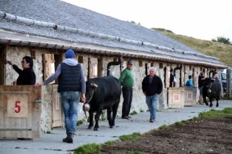 été dans le Val d'Hérens : Retour des vaches d'Hérens