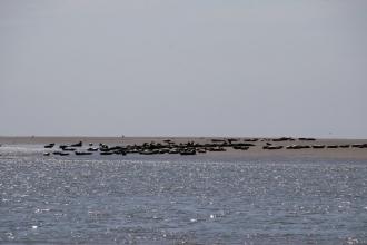 Découvrir la Baie de Somme : Phoques sur banc de sable
