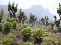 Végétation-Mont-Kenya