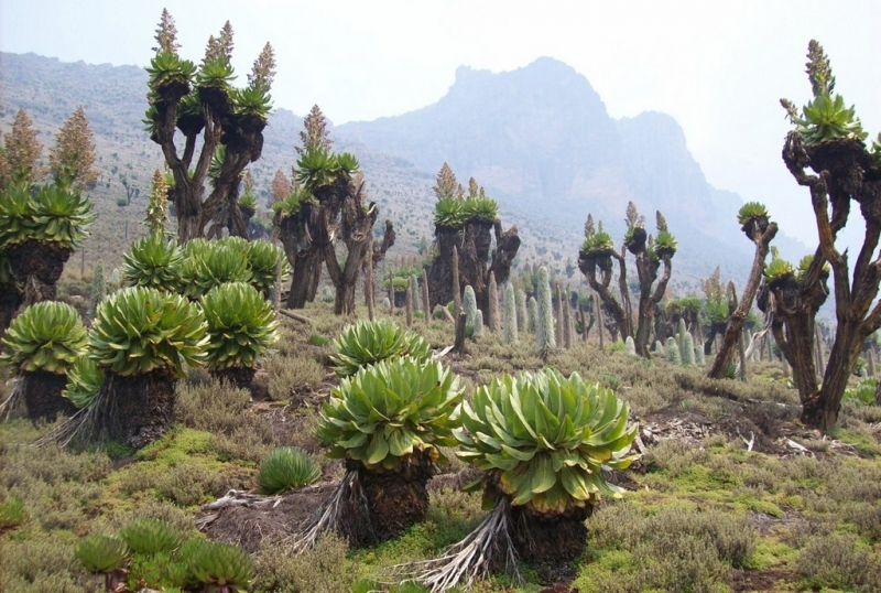 Végétation Mont Kenya