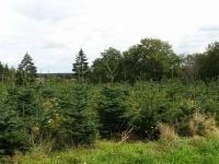 Plantation de sapins