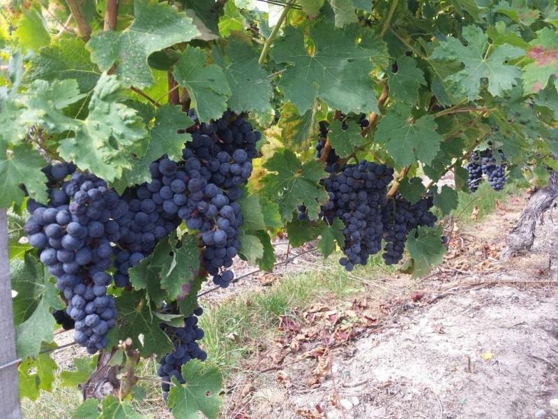 Raisins dans les vignes