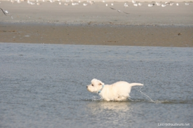 Wolf à la plage