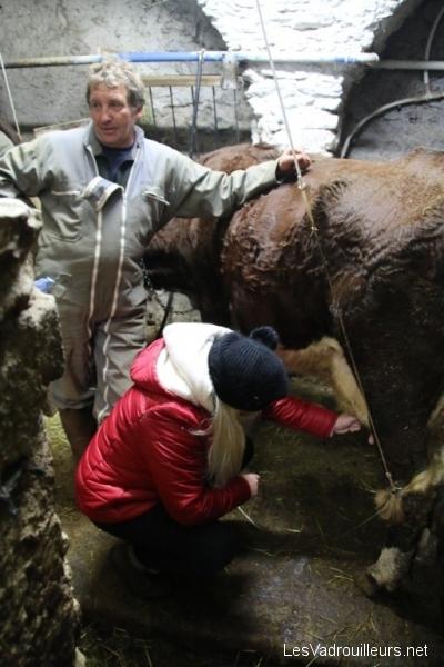 Valérie trait une vache