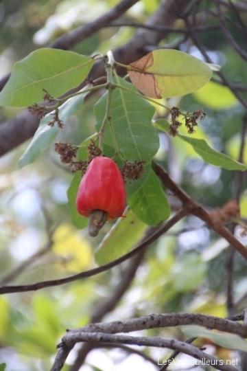 Fruit de la noix de cajou