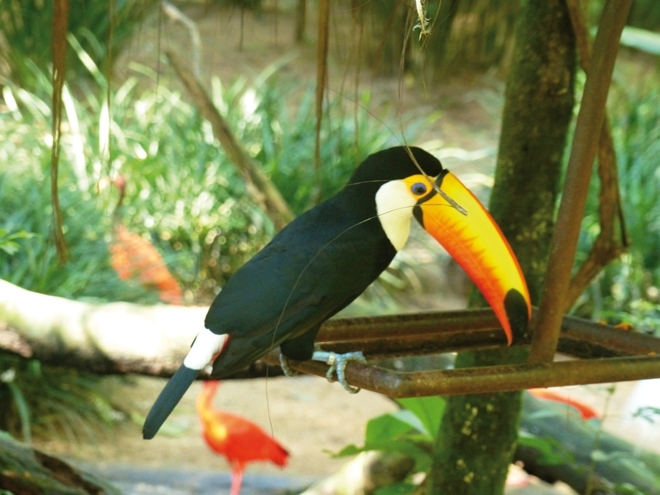 Un toucan à Iguazu