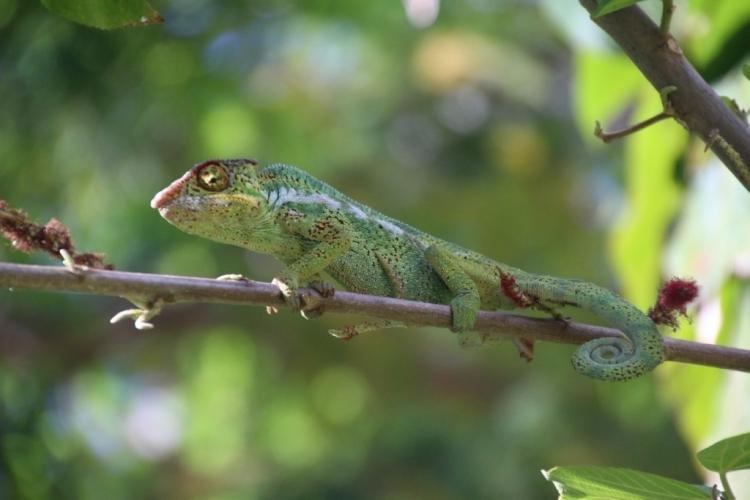 Caméléon à la Réunion