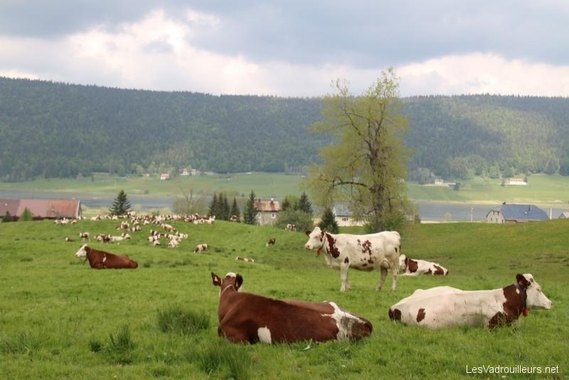 Vaches près du lac des Rousses