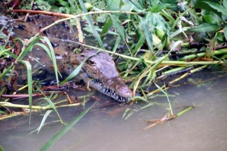 Que faire en Jamaique ? Voir des crocodiles