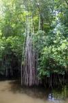 Que faire en Jamaique ? Découvrir la Mangrove