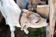 été dans le Val d\'Hérens : Nourrissage des veaux