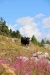 Val d'Hérens : la vache d'Hérens