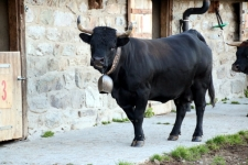 Val d'Hérens : Vache d'Hérens