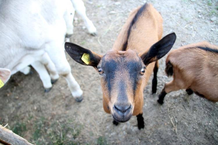 Val d'Hérens : Chèvre à l'alpage de Thyon