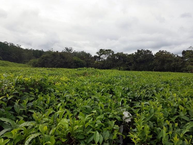 Se cultiver à l'ile Maurice : Cultures de thé