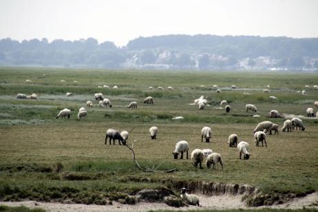 La Baie de Somme : moutons de prés salés dans les mollières