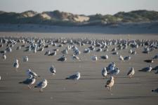 La Baie de Somme : les goélands