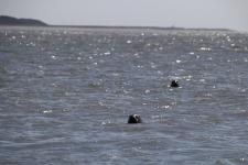 Découvrir la Baie de Somme : Phoques dans l'eau