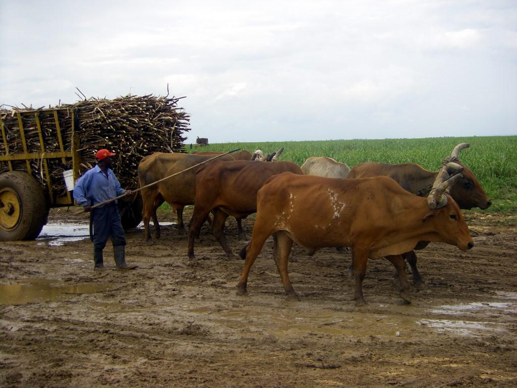 La République Dominicaine : récolte de canne à sucre