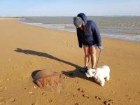 La Vendée : méduse géante échouée