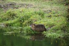La Vendée : un ragondin