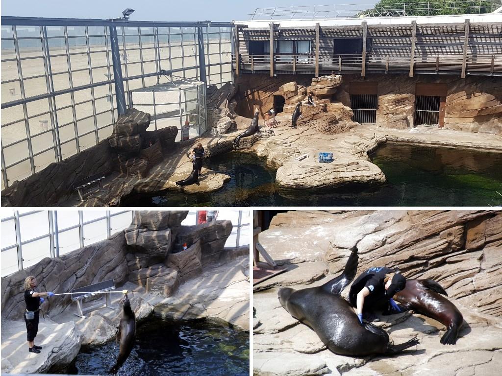 Grand Nausicaa : training médical des lions de mer
