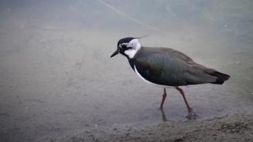Près de Quend Plage : oiseau du Marquenterre