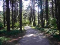 Quend Plage : la forêt de pins
