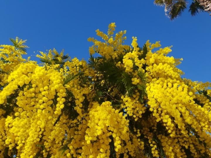 Côte d'Azur en Février : le mimosa