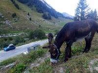 Pralognan en septembre : âne au hameau des Prioux