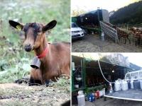 Pralognan en septembre : la traite des chèvres