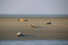 Baie d'Authie à Berck-sur-Mer : les phoques de la Baie d'Authie