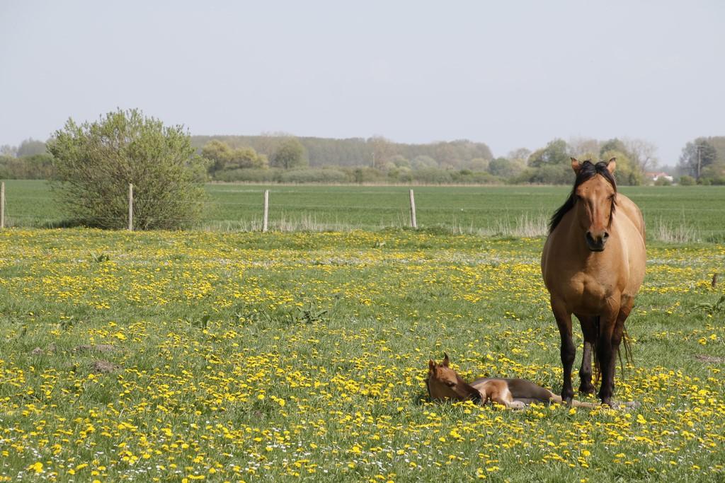 Que faire en Baie de Somme : chevaux Henson