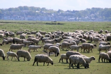 Que faire en Baie de Somme : voir les moutons de prés salés