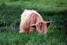 Que faire en Baie de Somme : voir les vaches Highland