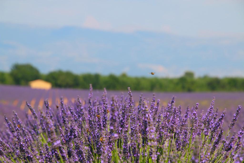 Les champs de lavande dans le Verdon