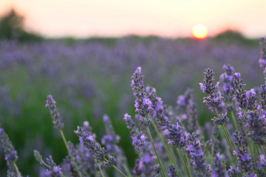 Partons découvrir le Verdon et ses magnifiques champs de lavande
