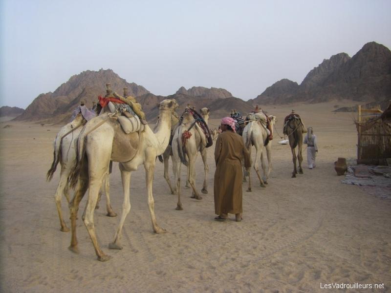Quad, dromadaire et ambiance bédouine dans le désert du Sinaï