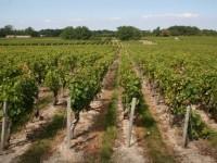 Les-vignes-du-Médoc